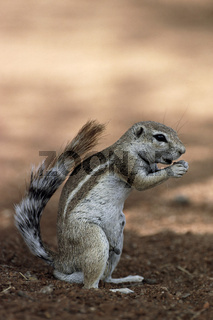 Kaokoveld-Erdhoernchen, Ground Squirrel,  Xerus princeps, Etosha National Park, Namibia, Afrika