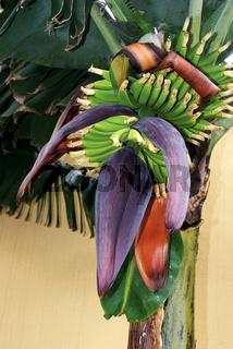 Bananenbaumbluete