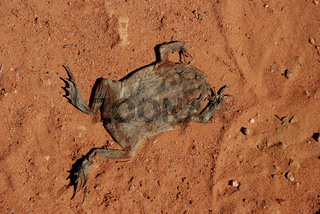 tote Kroete / dead toad
