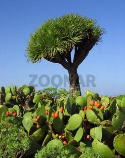 Drachenbaum – Rasierpinsel