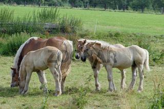 Saechsisch-Thueringisches Kaltblutpferd, Saxonia-Thuringia Coldblooded Horse, Germany