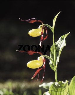 frauenschuh, cypripedium calceolus, gelber frauenschuh, marienfrauenschuh, ladys slipper orchid, sabot de venus, zueco de dama, orchideen