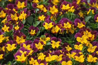 Viola-Cornuta-Hybriden, Veilchen, Stiefmütterchen