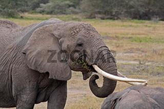 Afrikanischer Elefant, Kenia, wildlife