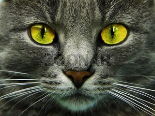 Katzenkopf mit gruenen Augen