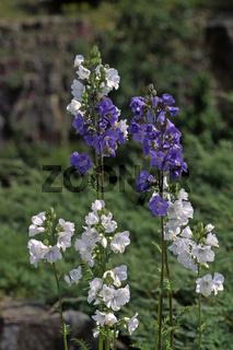 Polemonium caeruleum, Himmelsleiter