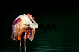 Rosaloeffler, Ajaja ajaja, Everglades, Florida, USA