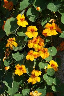 Tropaeolum majus, Kapuzinerkresse, Nasturtium