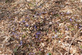 Hepatica, Leberblümchen, Anemone hepatica