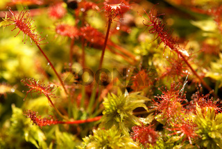 Mittlerer Sonnentau, Drosera intermedia