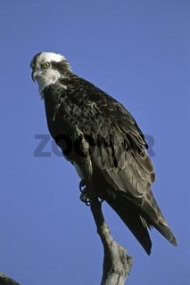 Fischadler, Osprey (Pandion haliaetus), Sanibel Island, Florida, USA