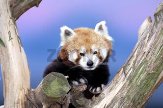 Katzenbaer, Kleiner Panda, Ailurus fulgens, Red Panda