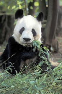 Pandabaer, Grosser Panda, Ailuropoda melanoleuca, Giant Panda