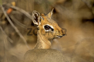 Namibia, Etosha NP, Afrika, Damara Dik-Dik, Portraet