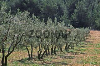 Olivenbäume bei Fontvielle