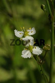 Caldesia parnassifolia, Herzlöffel