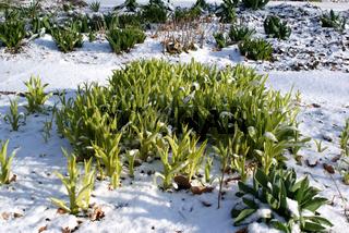 Hemerocallis, Taglilien, Daylilies