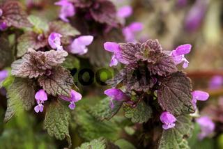 Rote Taubnessel, Lamium purpureum