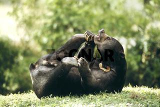 Malaienbaer, Ursus malayanus, Sun Bear