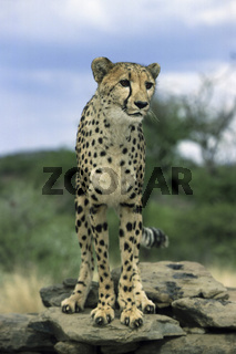 Gepard, Cheetah, Khomas Region, Namibia, Afrika  (Acinonyx jubatus)
