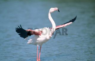 rosa flamingo,grosser flamingo, phoenicopterus roseus, greater flamingo