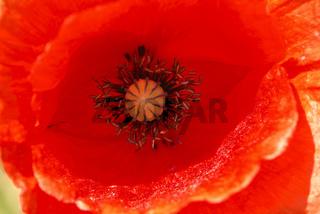 Klatschmohnblüte, Makro, Papaver rhoeas
