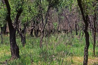 Olivenbäume am Cap Corse