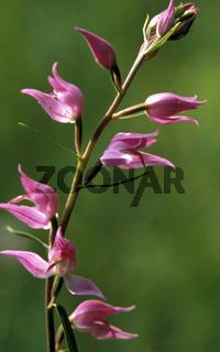 Cephalanthera rubra (Rotes Waldvögelein)