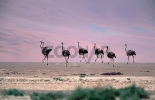 afrikanischer strauss, struthio camelus, ostrich
