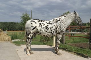 Knabstrupper-Appaloosa-Mischling, Mix-Breed-Horse