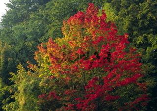 Ahornbaum im Morgenlicht