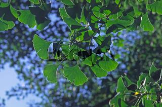 Gingko biloba, Gingkobaum, Blätter