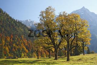 maple tree, ahorn, ahornbaum, autumn, herbst,  karwendel, limestone alps, kalkalpen, alpen, tirol, austria, oesterreich,