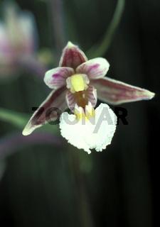 Epipactis palustris (Echte Sumpfwurz)