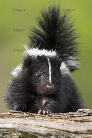 Stinktier, Skunks, Jungtier, Mephitis mephitis, Striped Skunks, Minnesota, USA, cub