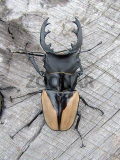 schwarzgelber Hirschkäfer