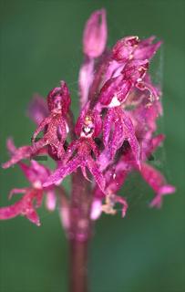 Orchis italica rubra (Italienisches Knabenkraut)