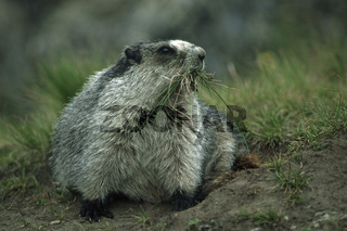 Eisgraues Murmeltier mit einem Grasbueschel im Maul Hoary Marmot with a cluster of grass in the muzzle