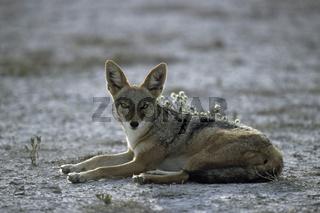 Schabrackenschakal, Black-backed Jackal (Canis mesomelas)