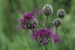 Sabiosen Flockenblume, Centaurea scabiosa, greater knapweed, centauree scabieuse