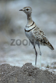 doppelband-rennvogel, rhinoptilus africanus, two-banded courser