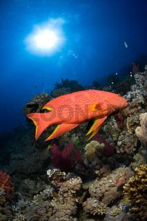 Korallenbarsch