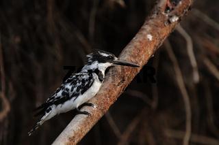 Graufischer (Ceryle rudis); Pied Kingfisher