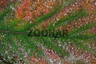 Herbstblatt, Raureif (V) Winter