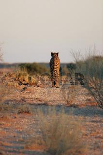 Gepard, cheetah, south africa, southafrica, suedafrika