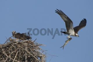 fischadler, pandion haliaetus, osprey, fishhawk, seahawk or fish eagle