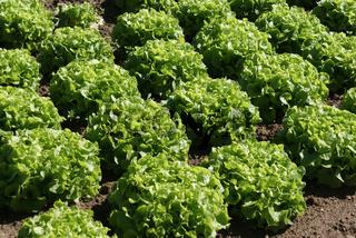 Lactuca sativa, Salat, Salad