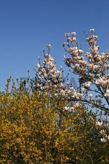 Magnolia, Magnolie mit Forsythie
