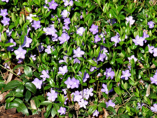 Vinca minor, Immergrün, Periwinkle