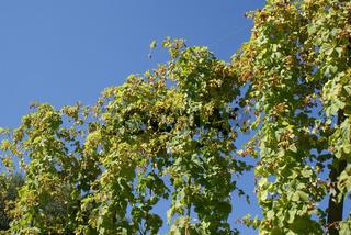 Humulus lupulus, Hopfen, Hop